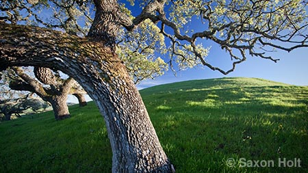 gilroy hills with oaks