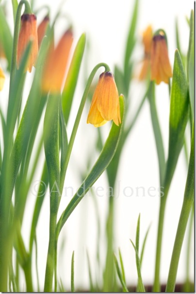 Fritillaria pudica (Idaho, Butte Co, 11542, USA)
