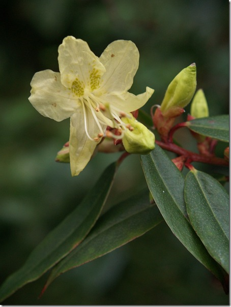 12 rhododendron lutescens 9s
