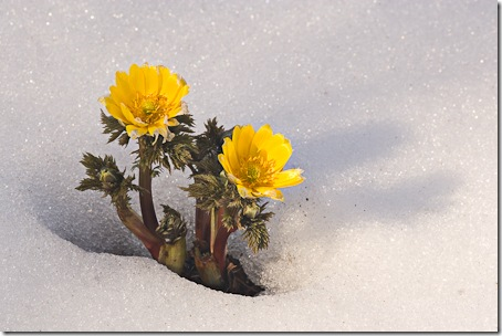 Adonis amurensis in snow