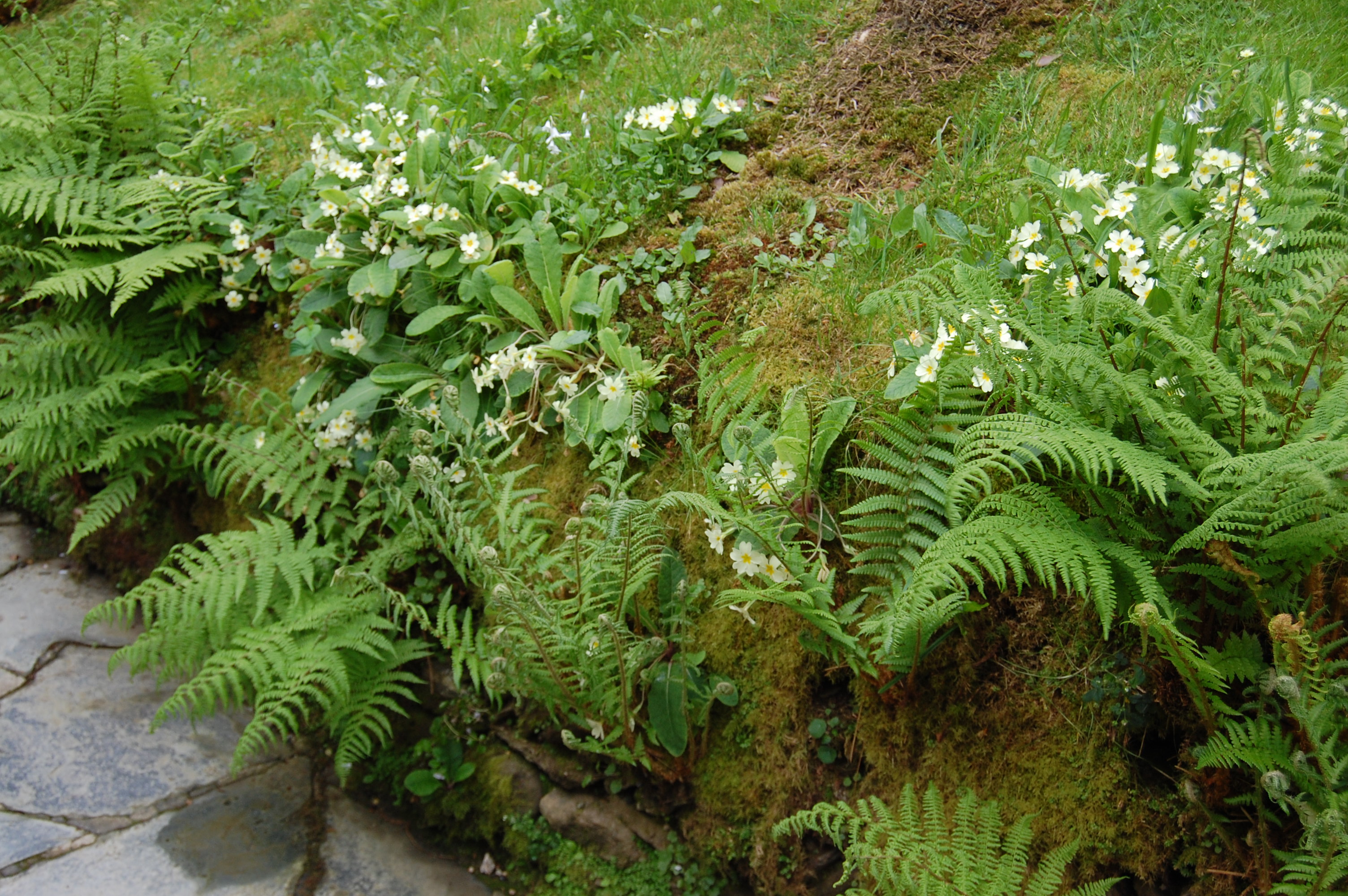High rainfall ensures that surfaces that would remain bare elsewhere get covered in vegetation - Primula vulgaris and ferns on a stone retaining wall.