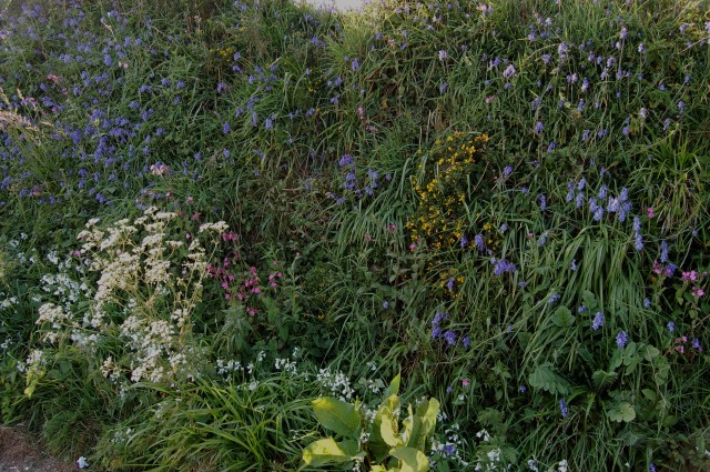 Wildflowers are superb, often growing on steep banks alongside country roads. The blue is english bluebells, Hyacinthus non-scriptus.