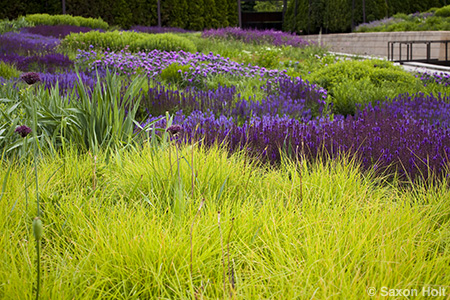 blocks of sesleria and sage in Lurie garden