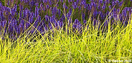 panorama, sesleria and salvia in Lurie garden