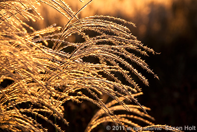Backlit flower head of Miscanthus sinensis 'Malepartus'
