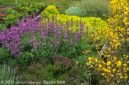 herb garden with flowering sage