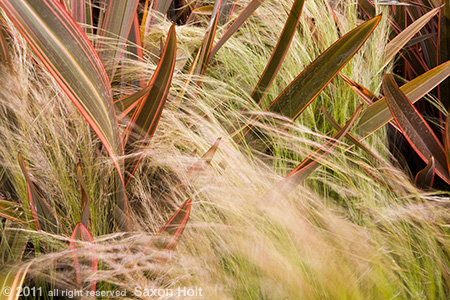 Phormium and feather grass in garden