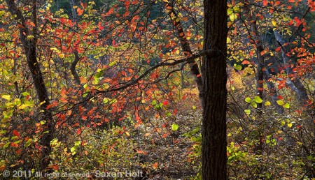 tupelo fall color, blackwater pond