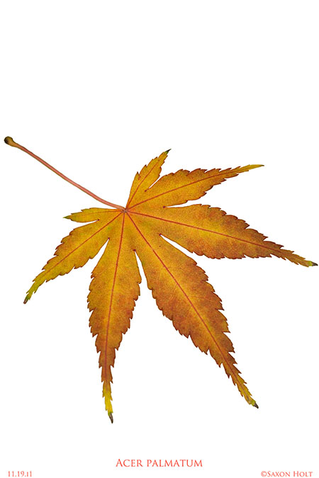 Image gallery japanese maple tree leaf Japanese maple leaf