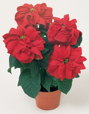Winter-Rose-Red