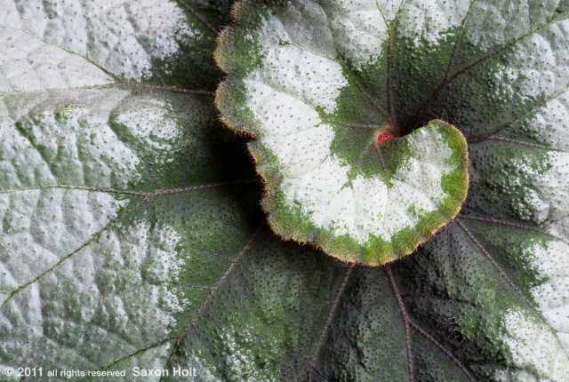 Begonia 'Escargot' varigated foliage swirl