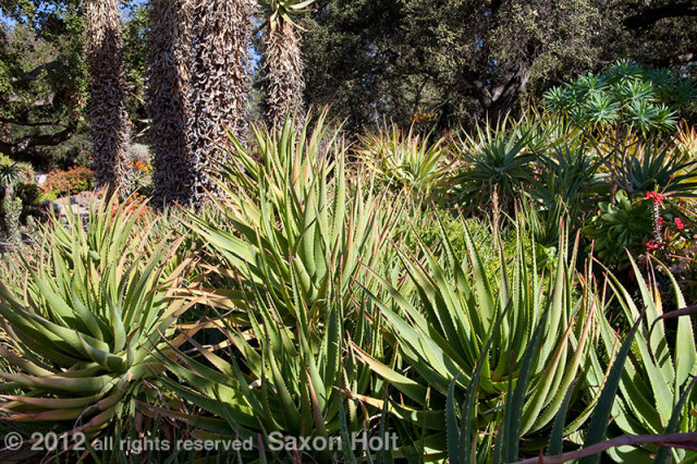 Aloes in the huntington garden front light