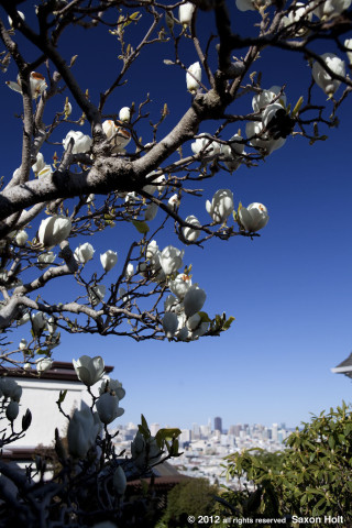 contrast magnolia against San Francisco skyline