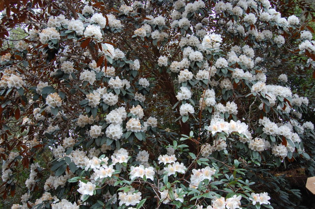 Rhododendron falcneri - a Himalayan foothill species. The flower clusters are almost spherical. Very over the top.