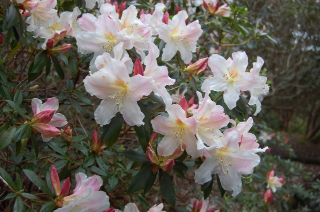 Rhododendron formosanum-var.-inaequale.