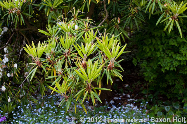 holt_286_3314 rhododendron branch