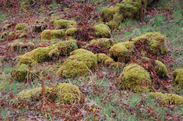 One of the joys here are the mosses. Needless to say a very wet climate.