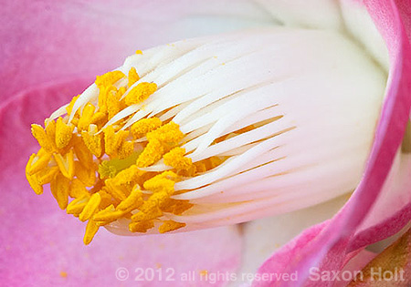 macro of stamens of camellia japonica flower 'Sunny Side'