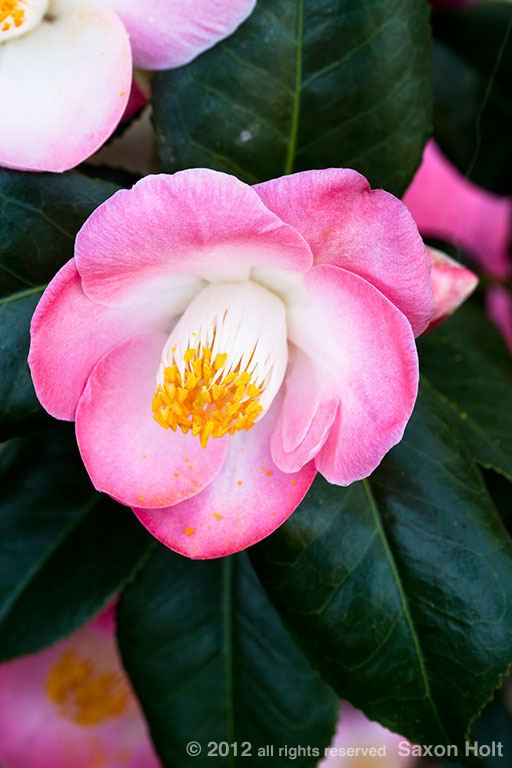 camellia japonica flower 'Sunny Side' +3 filled with color