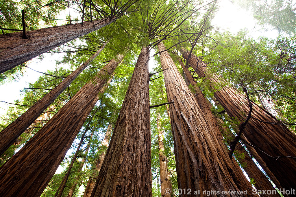 Landscaping With Redwood Trees : Redwood trees photo mural
