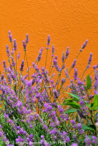 blue lavender against orange wall