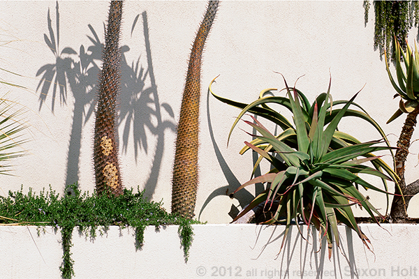 This photo of tall succulents in a narrow bed against a white stucco wall was taken in bright sun to accent the shadows.  The intriguing composition is meant to provoke thinking about plant design and sun light.