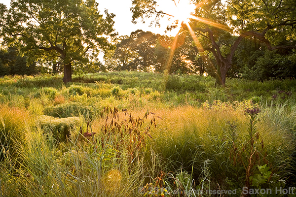 Dawn in the Kurt Bluemel Meadow - American Horticultural Society