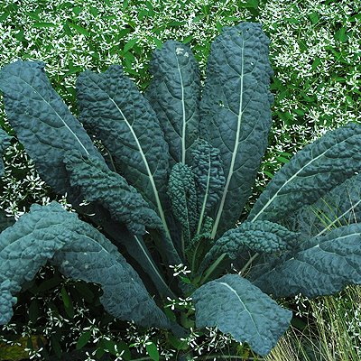 Kale 'Nero de Toscana (Organic). Photo is courtesy of Select Seeds.
