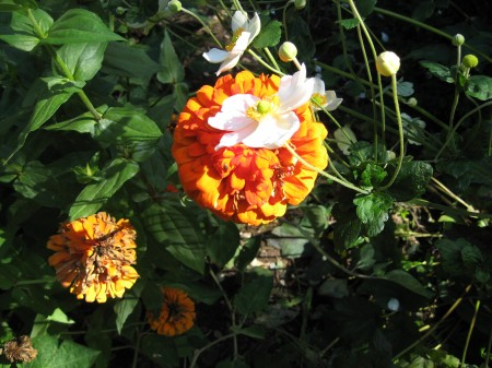 Orange Zinnia In Cutting Garden Photo Courtesy of Fran Sorin