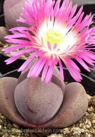 Pleiospilos 'Royal Flush'