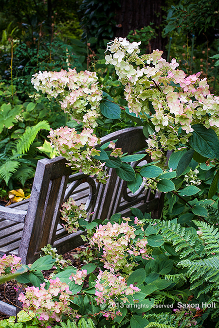 Hydrangea paniculata flowering shrub by wooden bench in O'Byrne Garden