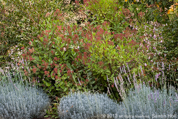 drought tolerant shrub border with ceanothus marie simon