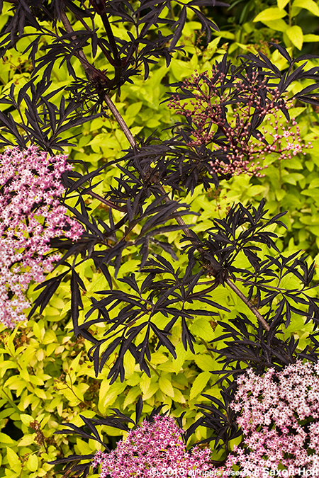 "Sambucus ""Black Lace'"