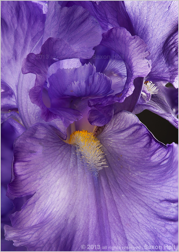 Photo stacking Blue Iris flower