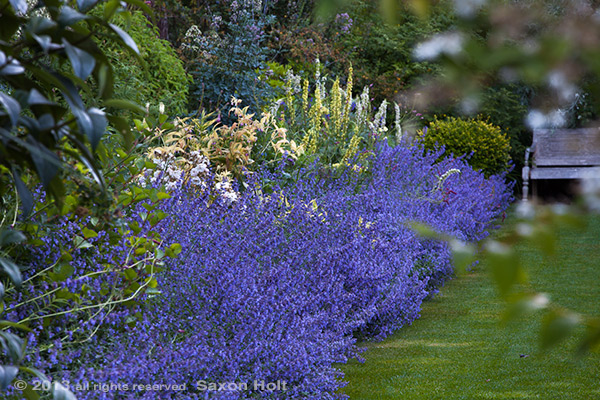 catmint-walkers_low-holt_780_450.CR2