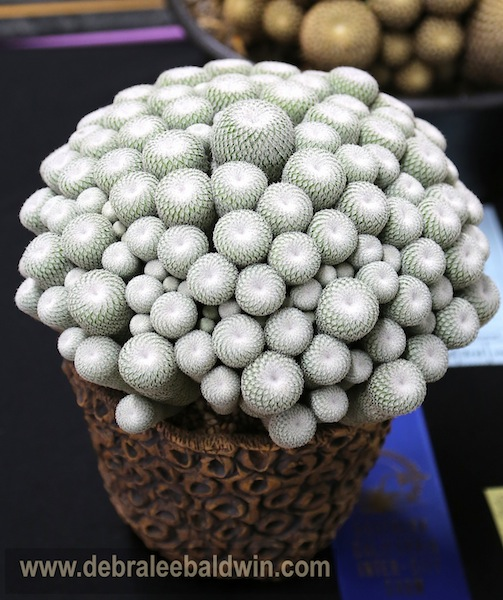 Epithelantha micromeris in Cone pot