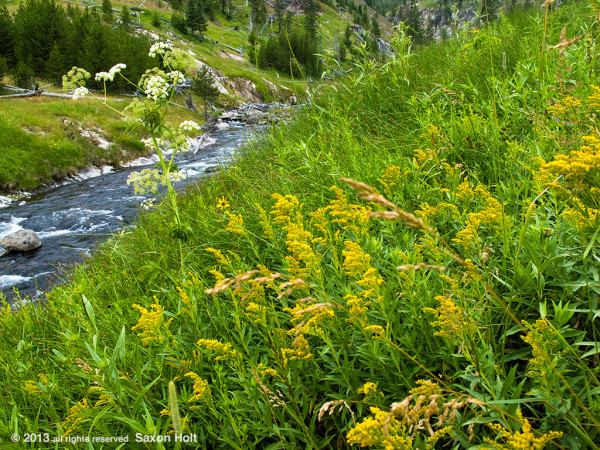 Wildflowers along Mystic Creek in Yellowstone Park