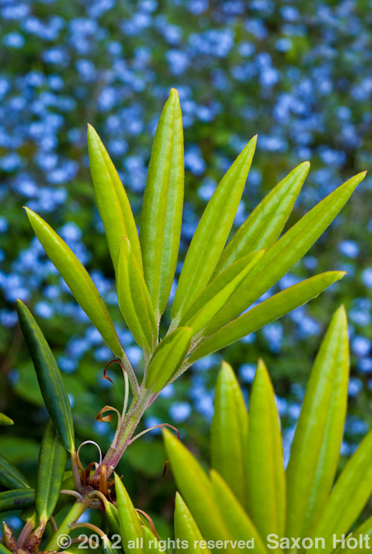 holt_286_3318Rhododendron hyperythrum