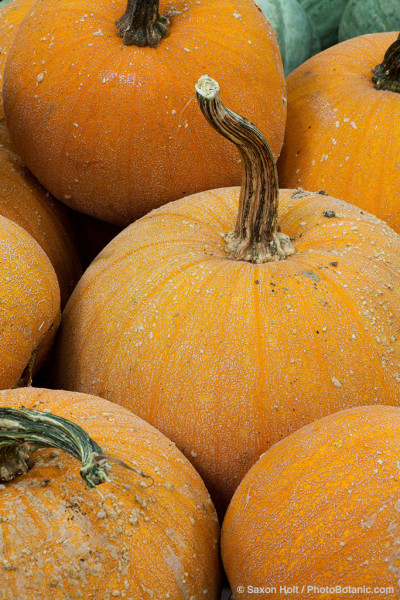 Squash (Cucurbita pepo) 'Winter Luxury Pie', orange pumpkin