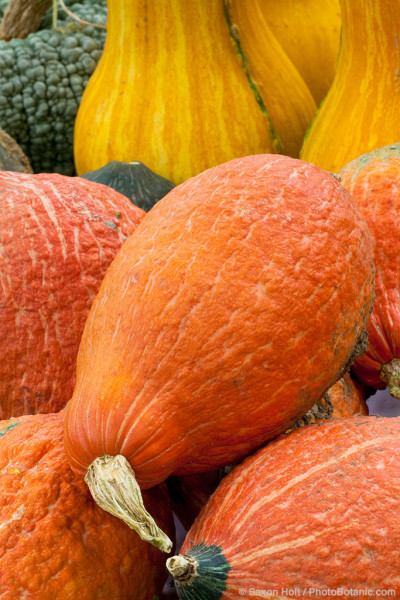 Squash 'Golden Hubbard' - Heirloom pumpkin