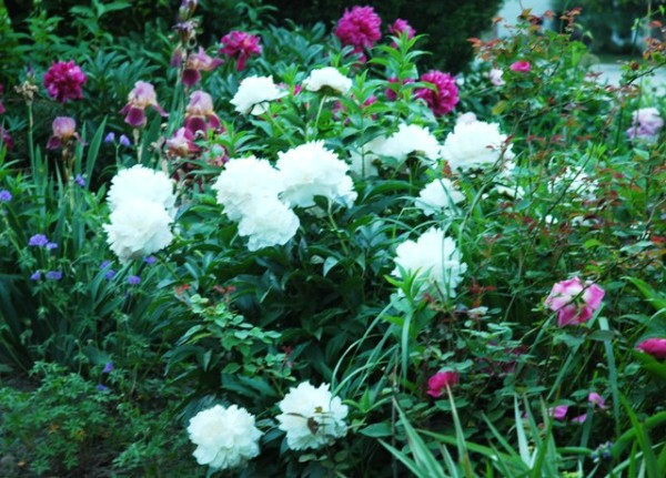 Peonies That Offer Beauty