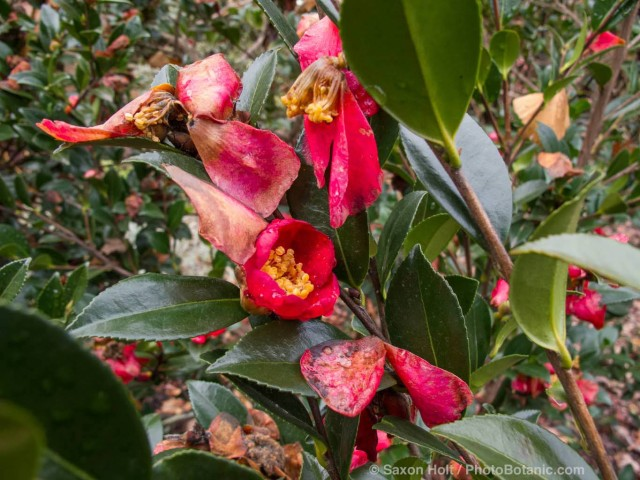 Red Camellia sasanqua flowers and wet spent petals