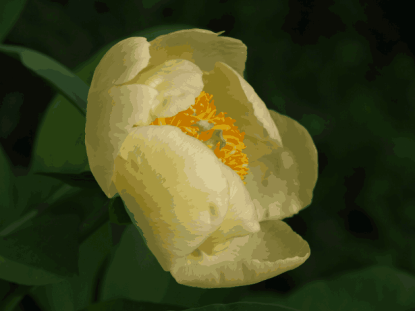 Paeonia mlokosewitchii in bloom