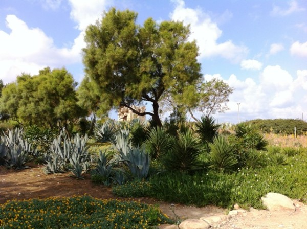 Agave sp. and Tamarix trees