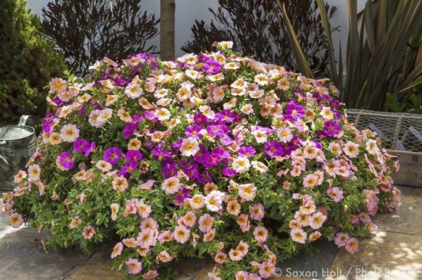 SuperCal 'Salmon Glow' and 'Grape', Petunia Petchoa hybrids flowering in pot on patio at Sakata Seeds
