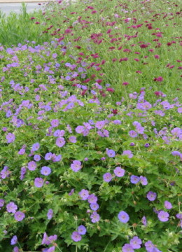 Knautia macedonia and Geranium var.