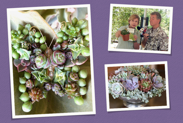 May 17-18: Inspired by designer Laura Eubanks, I made a succulent butterfly to wear in my hair at the Eco-Xpo Garden Festival in San Juan Capistrano, CA. During the event, I was interviewed for local television and created a mounded succulent arrangement. Photo of me by Susan Morse.