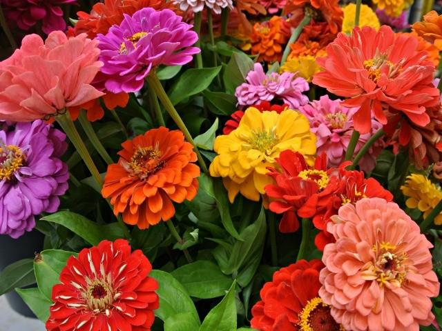 Zinnias in a wide range of colors