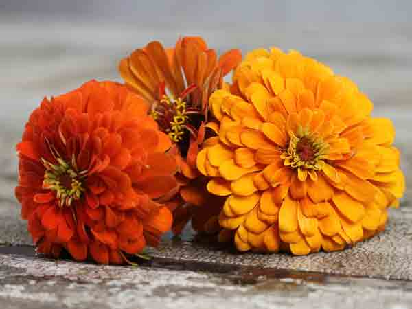Orange Creek Zinnia from Baker Creek Heirloom Seeds