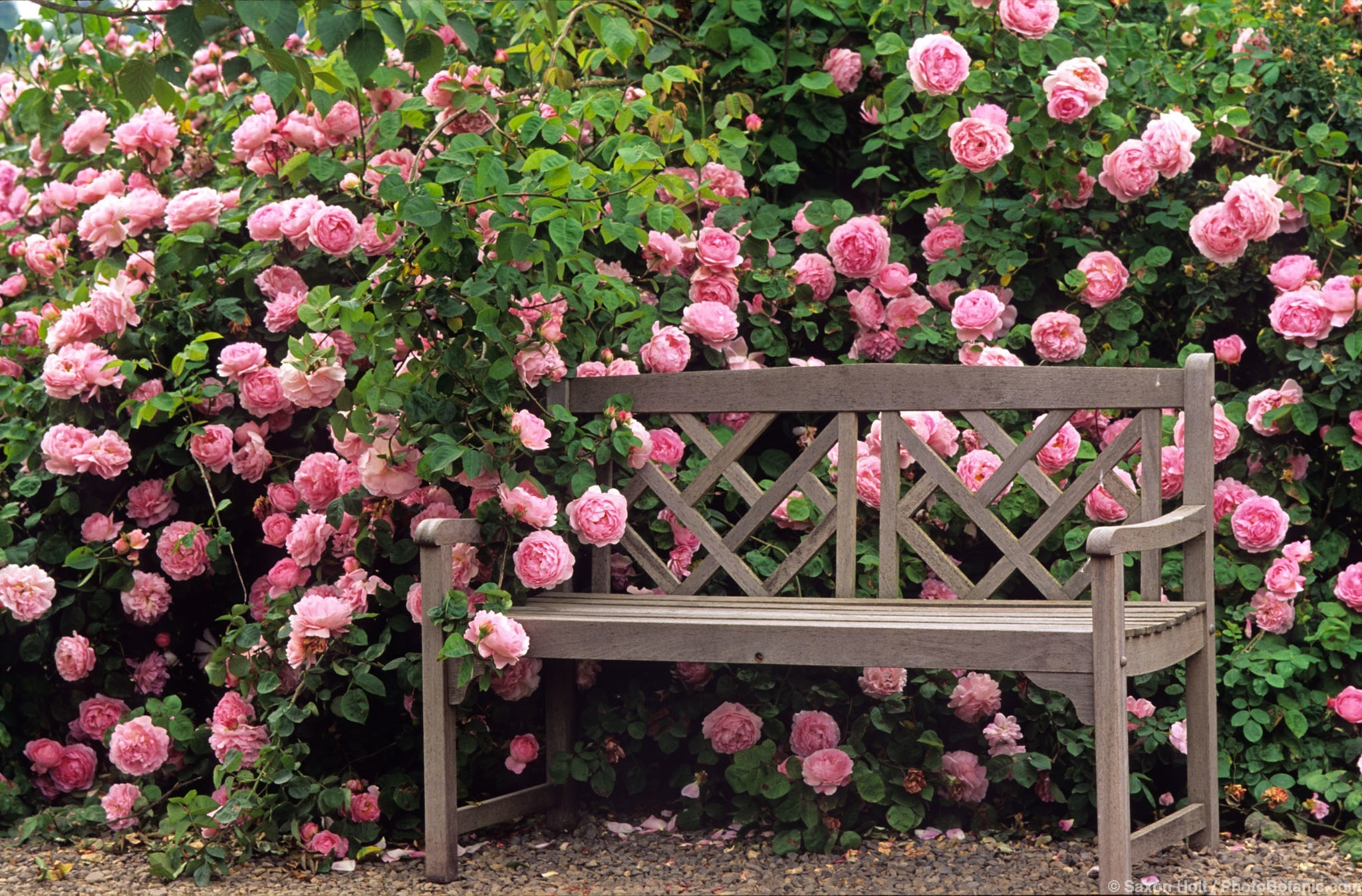 garden photographer saxon holt shows how to photograph roses. Black Bedroom Furniture Sets. Home Design Ideas